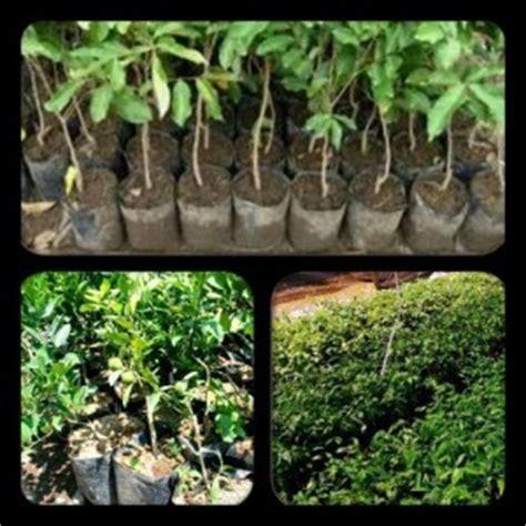 Jual Bibit Bebek Di Medan jual bibit tanaman murah lengkap di medan