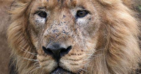 imagenes de leones salvajes image gallery leones salvajes atacando