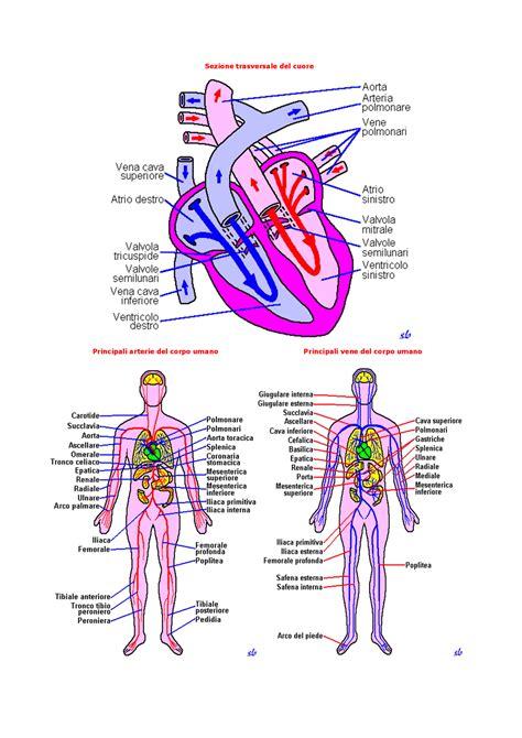 corpo umano anatomia organi interni disposizione principali organi corpo umano