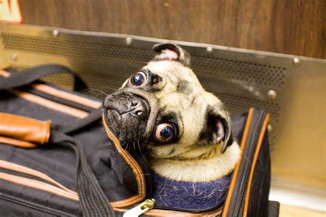 are dogs allowed on amtrak amtrak allowing pets to travel on trains cat and other pet friendly travel articles