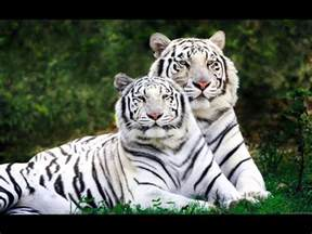 tiger species and extinct subspecies of tigers youtube