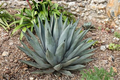 agave nigra sharkskin agave license botanical images