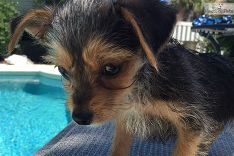 yorkies for sale in birmingham alabama black grey white terrier for sale in birmingham al