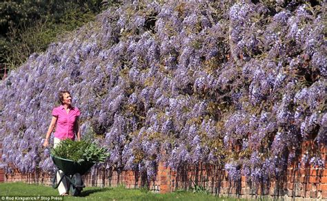 Training Wisteria Vines To Wall | training wisteria vines to wall newhairstylesformen2014 com