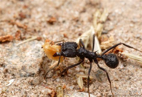 imagenes hormigas negras estudian la dieta de las hormigas negras cortadoras de