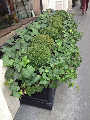 Boxwoods In Planters by Boxwood Planter Boxwood