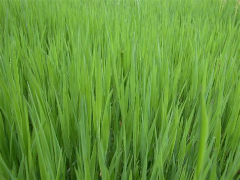 Green Grass by Green Grass Background Texture Photo Green