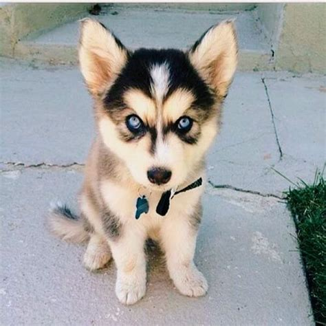 cutest husky puppy 25 best ideas about husky puppies on baby huskies husky puppy and