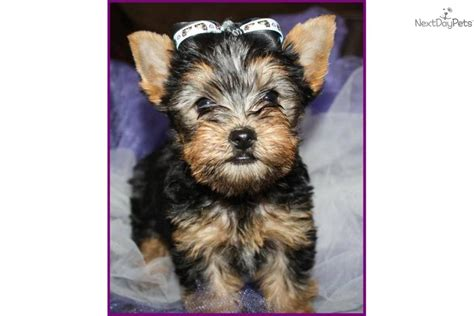 yorkie silky puppies terrier yorkie puppy for sale near southern illinois illinois 39e002a6 6f81