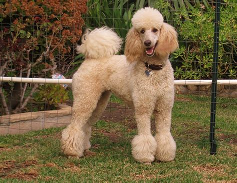lifespan of mini poodle span of standard poodle