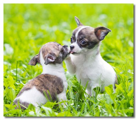 how to a chihuahua puppy how to raise a chihuahua puppy