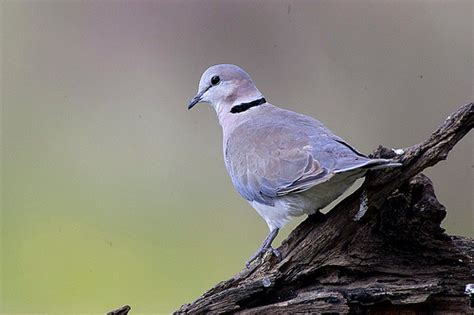 ring necked dove ndutu tanzania 0185 1 flickr photo