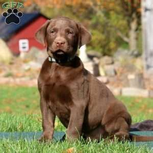 lab puppies in pa chocolate lab puppies for sale in pa greenfield puppies