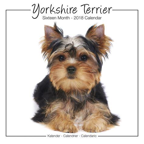 how to paper a yorkie puppy terrier calendar 2018 30476 terrier breeds