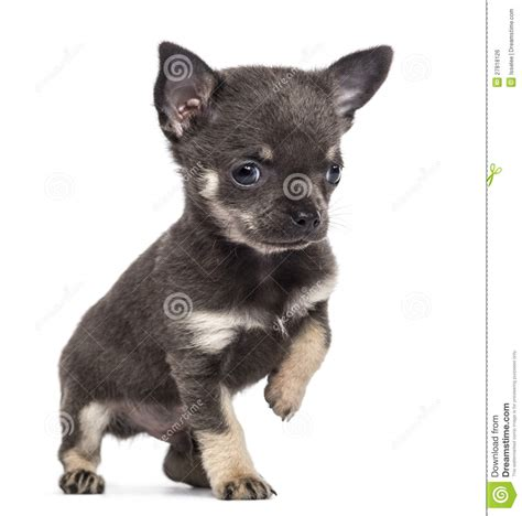 7 week puppy chihuahua puppy 7 weeks looking away royalty free stock image image 27818126