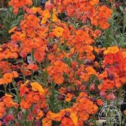 Perennial Garden Design Zone - plant profile for erysimum apricot twist shrubby wallflower perennial
