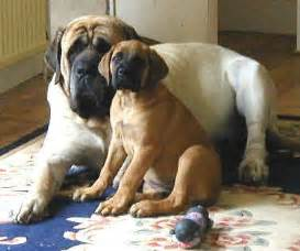 Mastiff puppies photos the dog wallpaper best the dog wallpaper