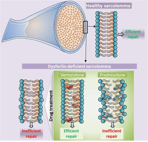 stabilizing dysferlin deficient muscle cell membrane