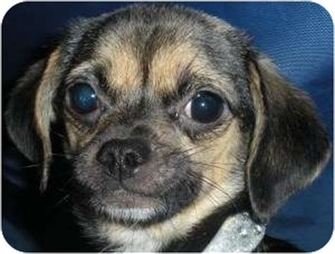 pugs for sale sacramento ca pug chihuahua mix in sacramento breeds picture