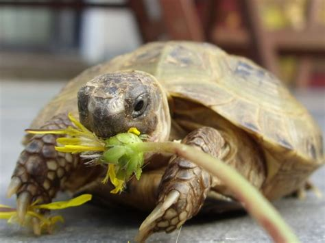 russian tortoises russian tortoise i love animals pinterest the o jays