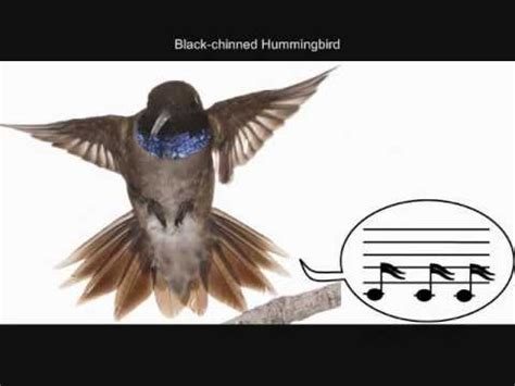 hummingbirds sing with their tail feathers youtube
