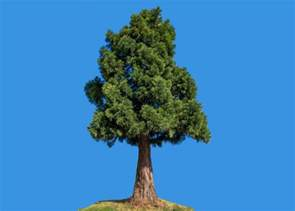 a tree the mayor of redondo california never killed a tree named clyde