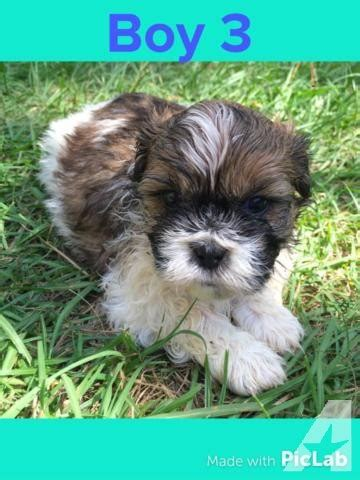 shih tzu cuddly ready now and cuddly shih tzu puppies for sale for sale in jasper florida