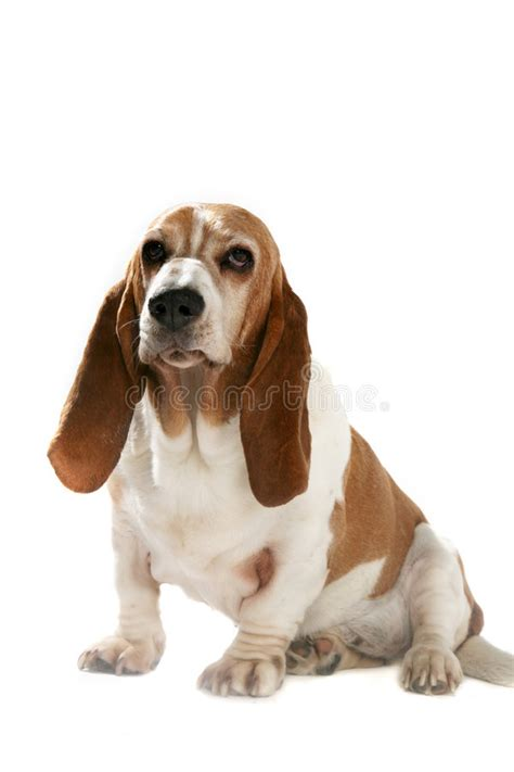 dogs with short floppy ears big dog with short legs and long ears stock image image