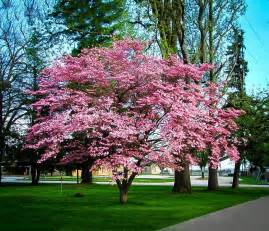pink dogwood the tree center