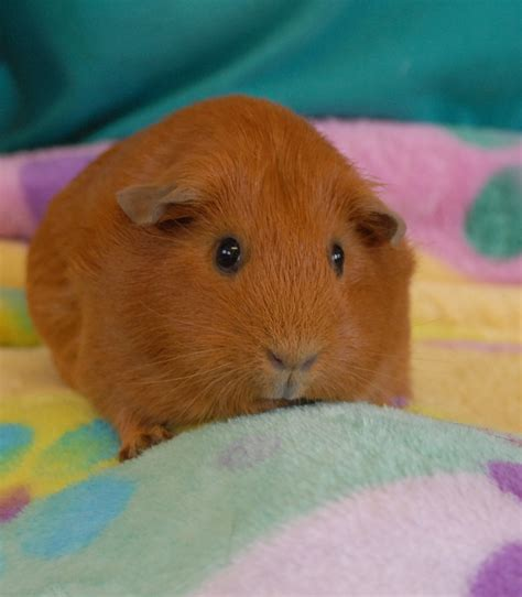 25 best ideas about guinea pigs on