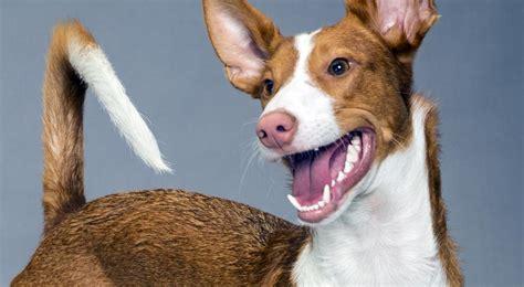 portuguese podengo puppies portuguese podengo breed information american kennel club