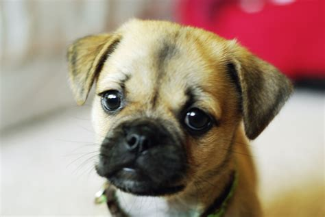 cutest puppy mixes pug puppies are the cutest gt puppy toob