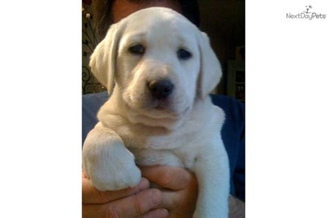 labrador puppies for sale bay area labrador retriever puppies bay area dogs in our photo