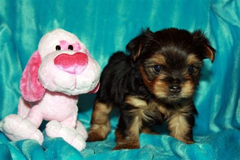 teacup yorkies for sale in dallas a kc registered teacup yorkies for sale adoption from dallas adpost