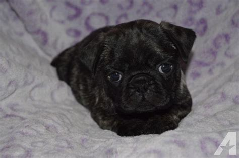 pugs for sale in michigan brindle pug puppy for sale in sidney michigan classified americanlisted