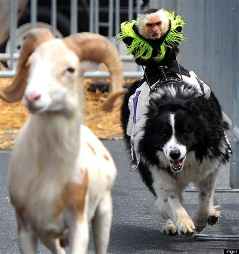 monkeys dogs monkeys ride dogs herd rams at colts photo huffpost