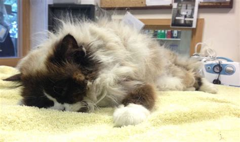 rag doll hair matted rag doll cat shave nature news