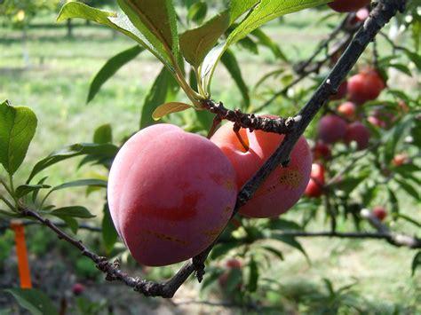 fruits for minnesota gardens - Minnesota Fruit Trees