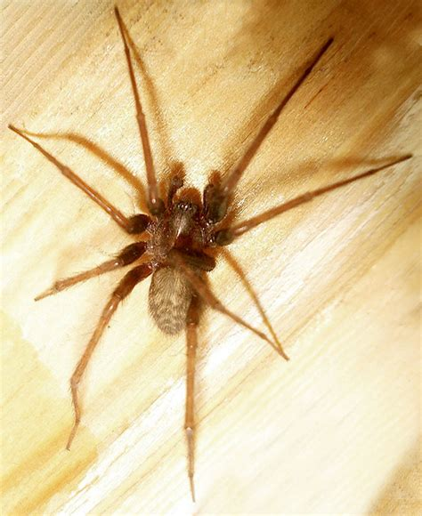 domestic house spider agelenidae agelenid spiders