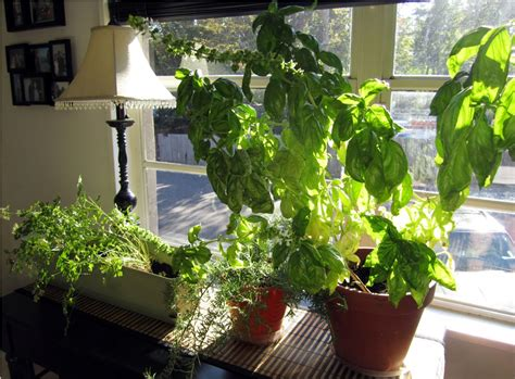herbs indoors diy growing herbs indoors tedx decors the beautiful of