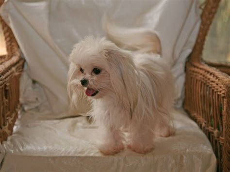 shih tzu ottawa best 25 shih tzu for sale ideas on shih tzu breeders teacup maltese