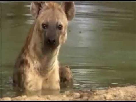 kurtlar belgesel izle hayvanlar alemi aslan belgeseli izle 2015 belgesel hayvanlar alemi t 252 rkce doovi