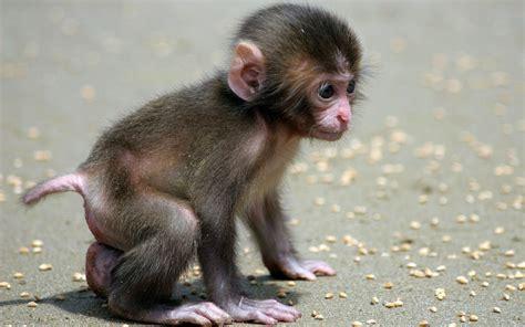 wallpaper cute monkey baby monkey wallpaper 944503