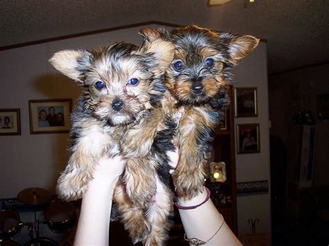 yorkies for sale in ottawa gorgeous quality teacup yorkies puppies