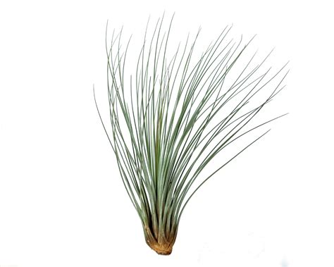 Flower Decorations For Home by Tillandsia Juncea Corsa Air Plants Webshop