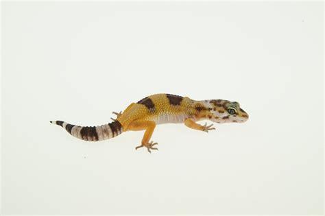 Leopard Gecko 2 leopardgecko kaufen im shop seite 2 md terraristik