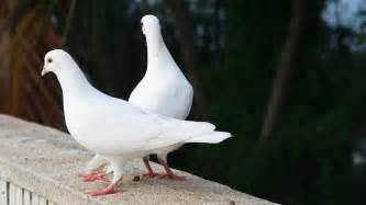 dove bird archives hdwallsource com hdwallsource com