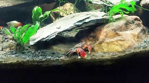 thoughts   red clawed crab tank youtube