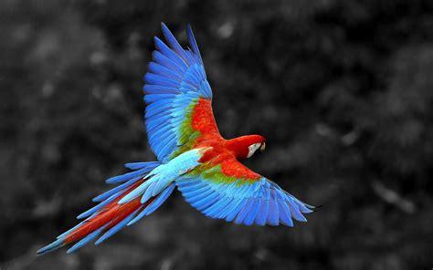 scarlet macaw bird hd wallpaper new hd wallpapers