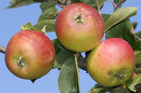 äpfel Alte Sorten 2951 by Alte Apfelsorten Unterfranken Newskeys2s